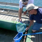 Hatch and Release: Stocking Up on White Sea Bass