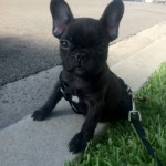 Stitch the French Bulldog out for a walk in his new neighborhood.