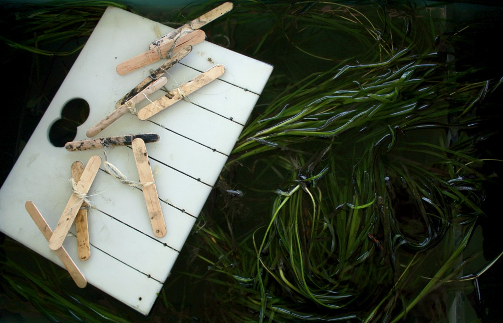A rack of eelgrass sits in a tub before getting transplanted into the Upper Newport Bay. — Photo by Sara Hall ©