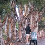 City to Remove 54 Decayed Blue Gum Trees from Castaways Park