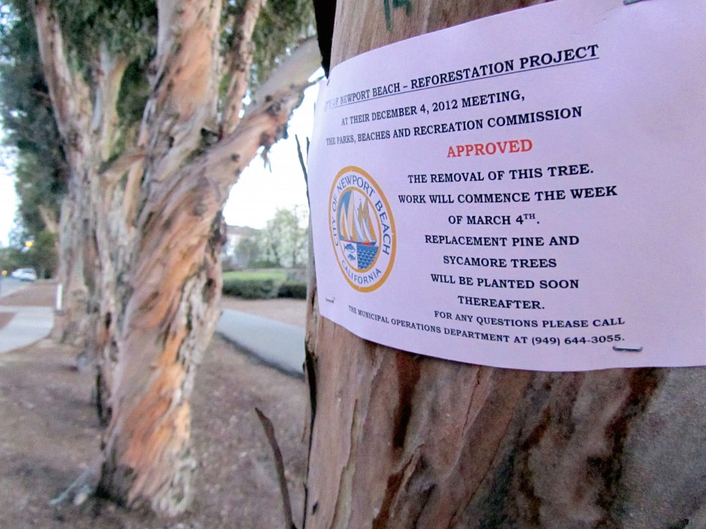 A sign posted, and facing away from the trail, on one of the blue gum eucalyptus trees on Groves Bike Trail stating that the tagged tree is scheduled for removal by the city.