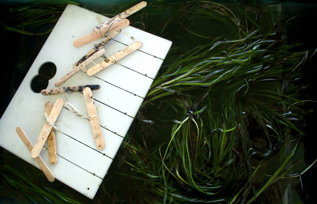 A rack of eelgrass sits in a tub before getting transplanted into the Upper Newport Bay last year. — Photo by Sara Hall