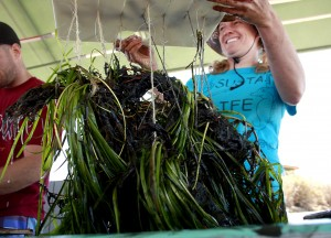 Brianna Madden, education director for OC Coastkeeper, holds up a rack of eelgrass bundles at the Back Bay Science Center last June. Volunteers transplanted about 100 bundles from around Harbor Island to Upper Newport Bay as part of Coastkeeper's four year Newport Back Bay Eelgrass Project. — Photo by Sara Hall