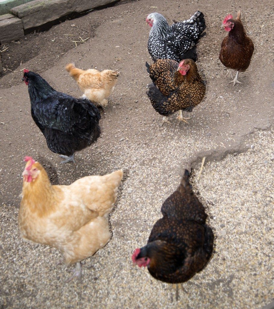 The Goldenrod 6 chickens have spent the last year clucking away with their coop mates in their new home at the Newport Beach Vineyard and Winery. — Photo by Charles Weinberg