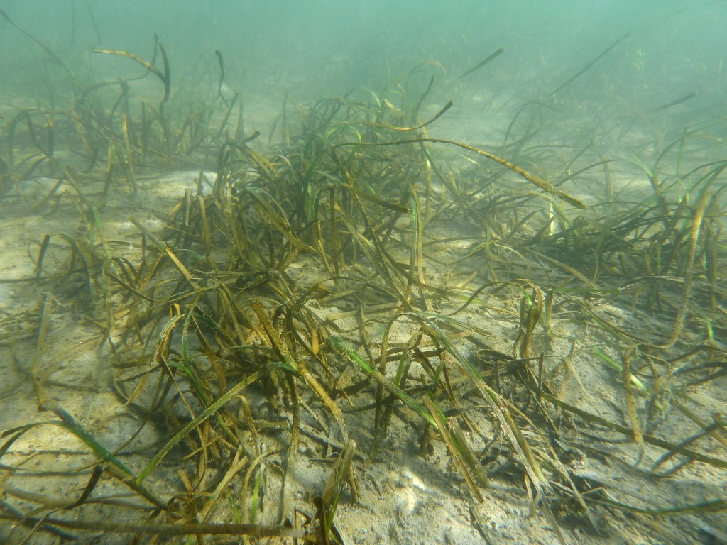 A section of transplanted eelgrass is bent and partially buried in January after heavy rain washed sediment down the watershed into the bay. The grass dies back a bit to conserve resources during the rainy winter months.  — Photo courtesy of Coastkeeper ©