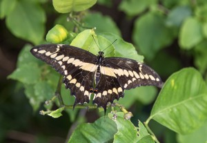 Western Tiger Swallowtail at the butterfly house at the ENC — Photo by Charles Weinberg