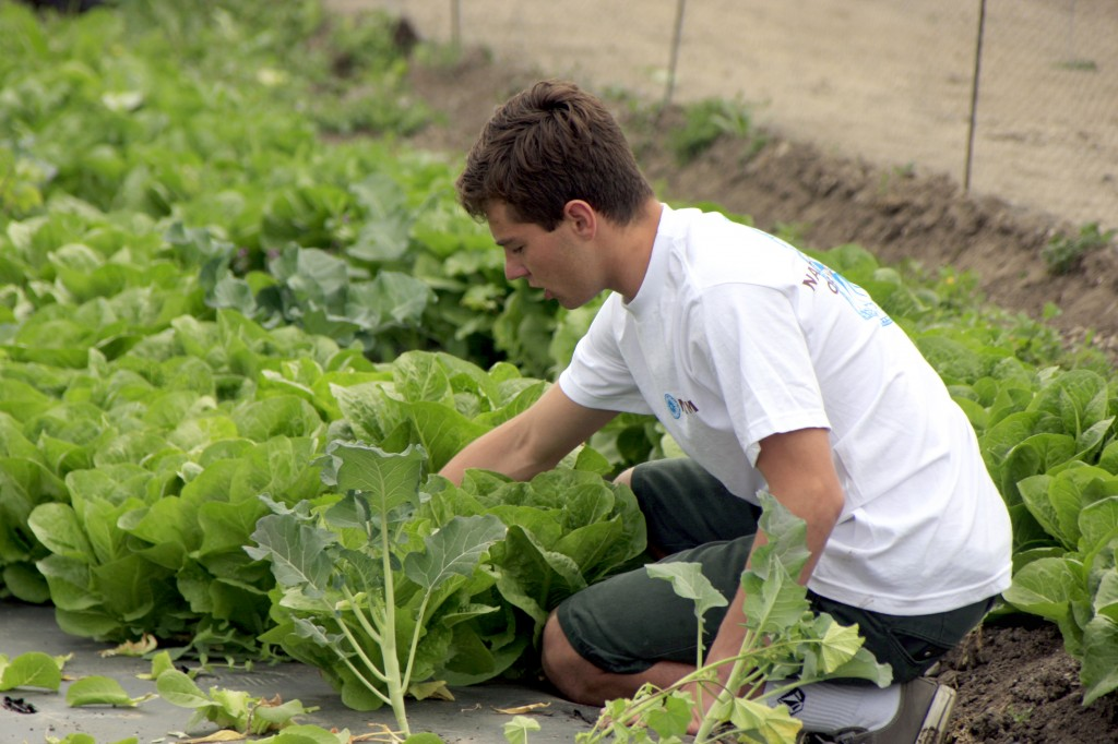 Corona del Mar High School sophomore, Hunter Wetton, picks lettuce at the Incredible Edible Park in Irvine on Saturday. — All photos by Sara Hall