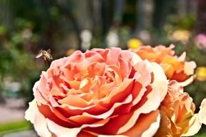 Bee busy at work — Photo by Deidre Palladino