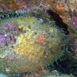 Restoring Green Abalone to the Newport Coast