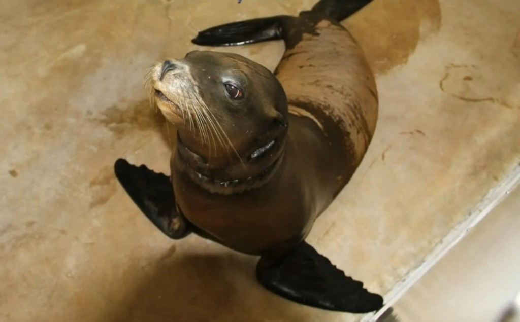 The rescued sea lion, nicknamed Officer Jon