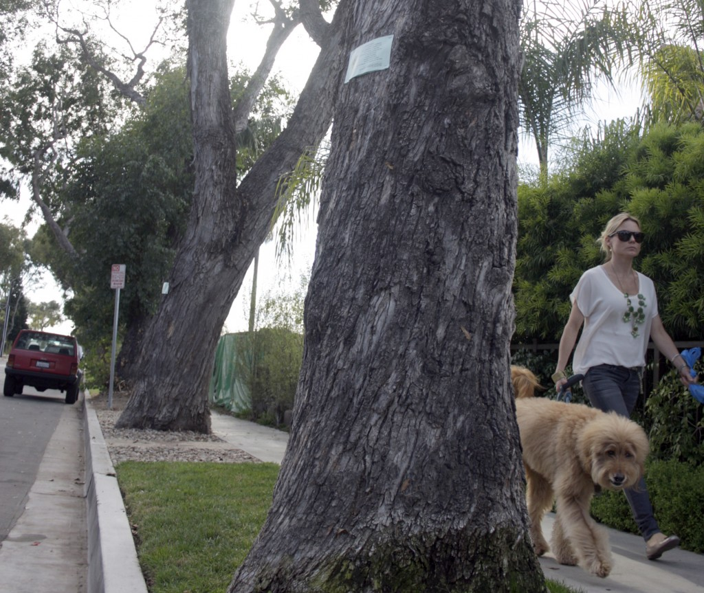 A resident walks her dog by 619 and 621 Poppy Avenue on Thursday. Both trees are slated to be removed. — Photo by Sara Hall