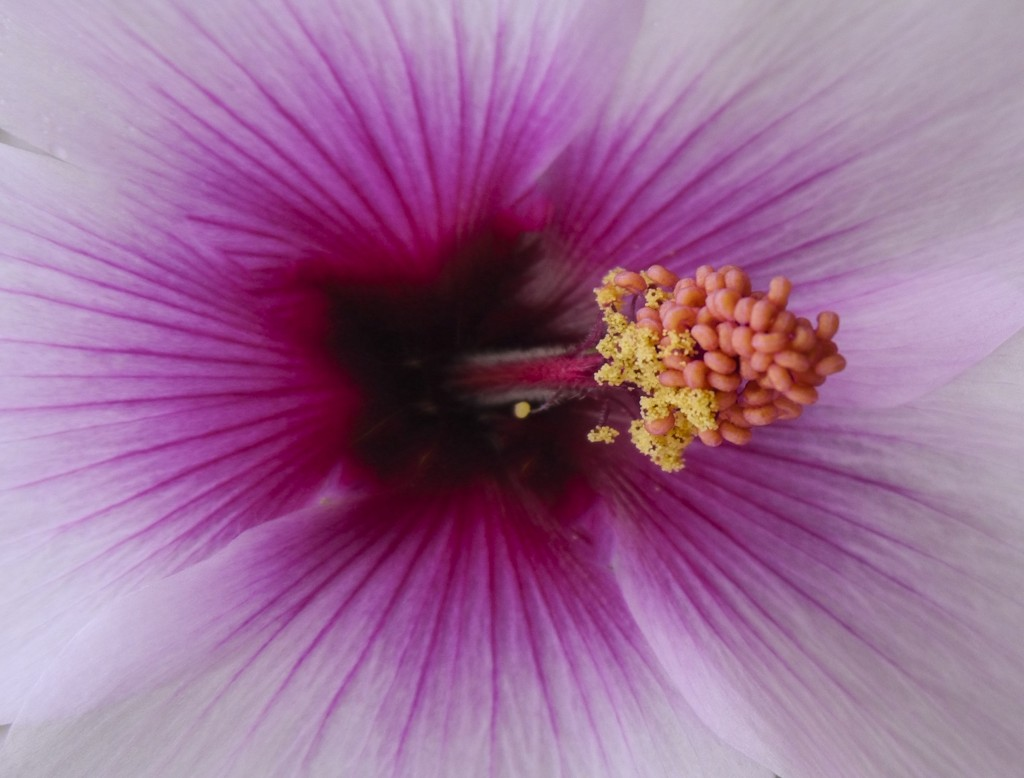 Spring is Here: Hibiscus  — Photo by Lawrence Sherwin