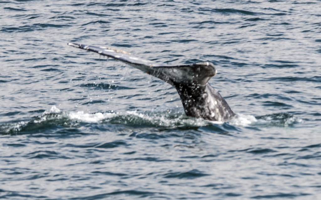 The tail of a whale spotted on a whale watching outing with Davey's Locker. — All photos by Lawrence Sherwin