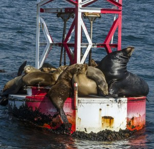 Sea lions sunning on a buoy