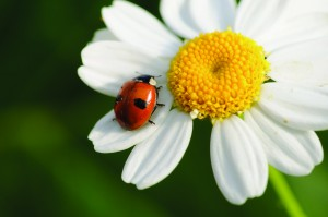 Ladybug on daisy-122537951