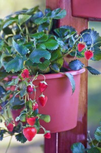 Strawberries are excellent container plants.