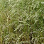 Moment for Health: A Grain Called Teff