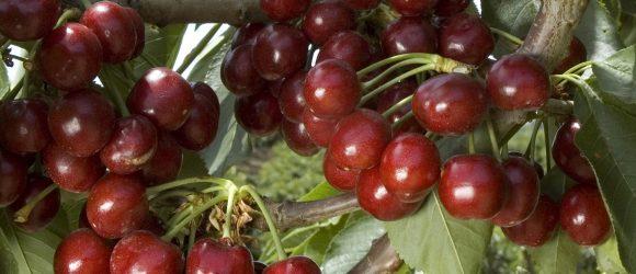 Royal Lee Cherry fruit tree