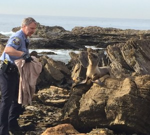 Newport Beach Police Department Animal Control Officer Mike Teague rescues a sea lion