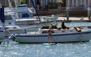 SUP versus sea lions