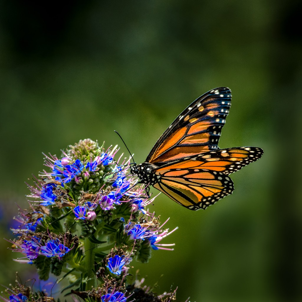 Monarch butterfly. — Photo by Patrick O'Healy ©