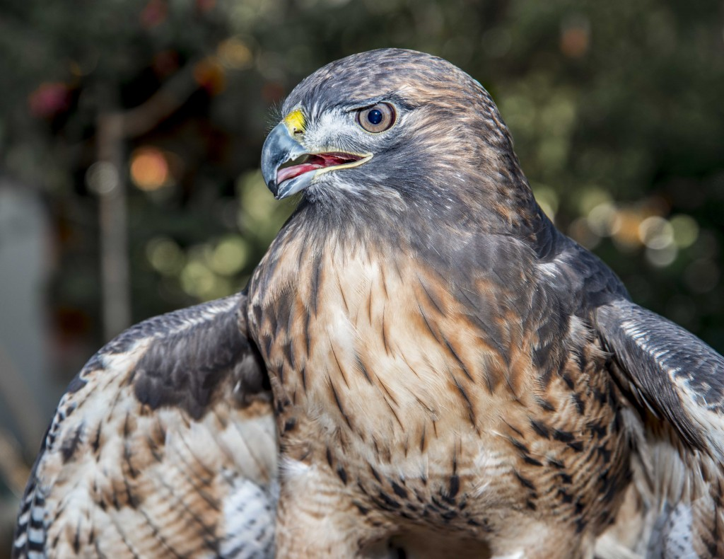Hank, the red tailed hawk. — Photo by Lawrence Sherwin ©
