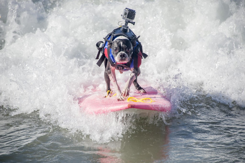 Dog Surfing (6)