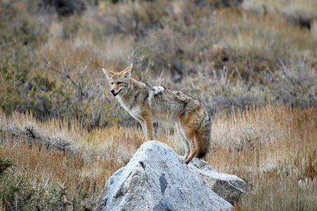 A coyote in South Coast Wilderness Park — Photo by Allan Schoenherr©