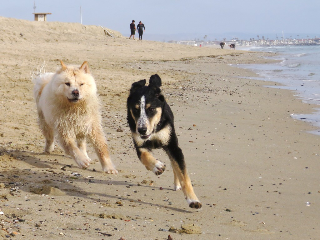 Indie (right), a 6-month-old golden retriever and husky mix from Huntington Beach, runs with Zardalo, a 1-year-old chow chow and poodle mix from Rancho Santa Margarita as they play on the beach near the Santa Ana River mouth on Thursday. — Photo by Sara Hall ©