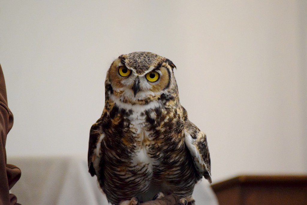 Tweek, a Great Horned Owl who suffered brain damage after he fell out of his nest when he was a hatchling, visit's the first graders at Harbor Day School as part of the Traveling Scientist program. — Photo courtesy Harbor Day School/Noelle Becker ©