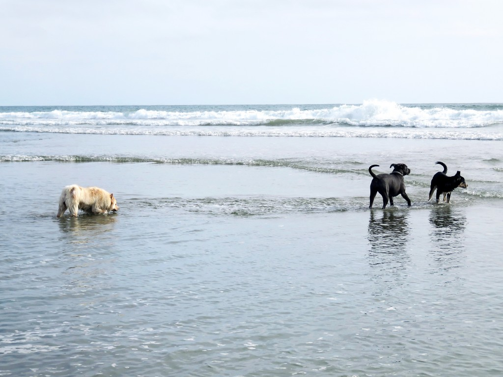 (left to right) Zardalo, a 1-year-old chow chow and poodle mix from Rancho Santa Margarita, Stella, a 1-year-old rescued mixed breed pup from Newport Beach, and Indie, a 6-month-old golden retriever and husky mix from Huntington Beach, play in the water near the Santa Ana River mouth on Thursday. — Photo by Sara Hall ©