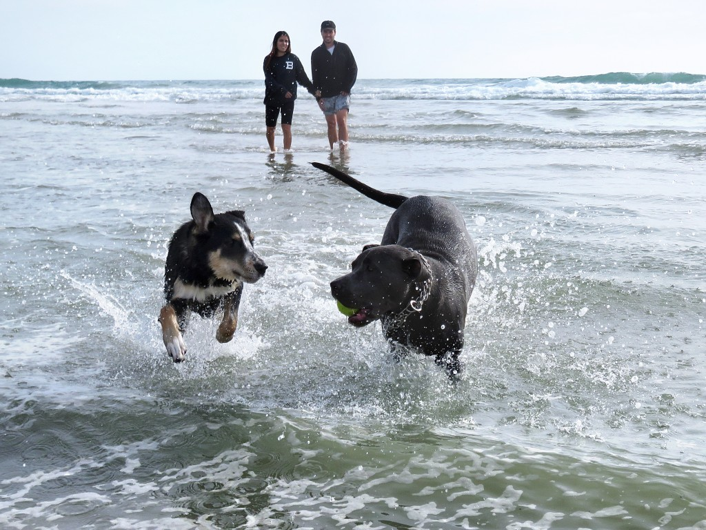 (right) Stella, 1, a rescued mixed breed pup from Newport Beach and Indie, 6 months, a golden retriever and husky mix from Huntington Beach, play on the beach near the Santa Ana River mouth on Thursday as Indie's owners look on in the background. — Photo by Sara Hall ©