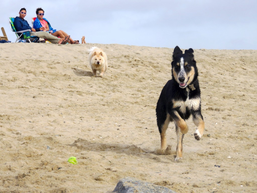 Indie, a 6-month-old golden retriever and husky mix from Huntington Beach, runs in front of Zardalo, a 1-year-old chow chow and poodle mix from Rancho Santa Margarita as they play on the beach and Zardalo's owners watch in the background near the Santa Ana River mouth on Thursday. — Photo by Sara Hall ©