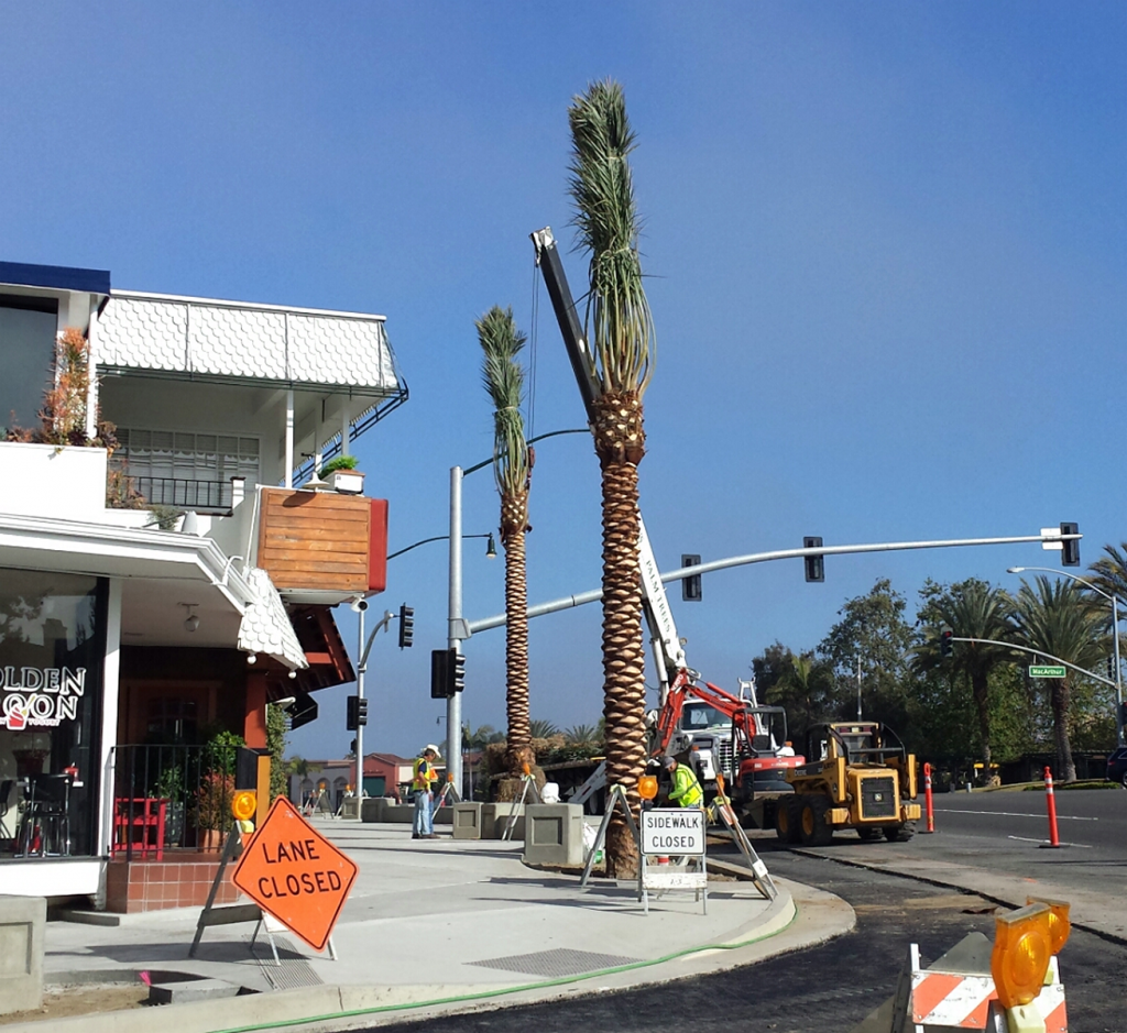 Palm trees are installed this week as part of the Corona del Mar Entry Improvement project. — Photo courtesy the city of Newport Beach ©