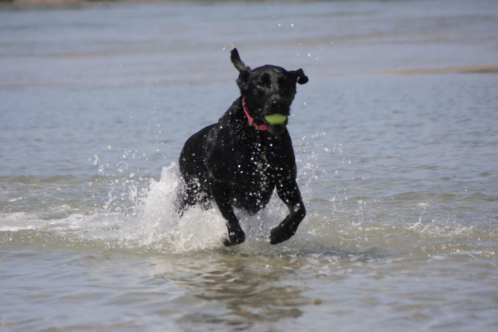 Black lab Haven runs and plays in the water near the Santa Ana River mouth on Saturday after a press conference from local officials about making the area an official dog beach. — Photo by Sara Hall ©