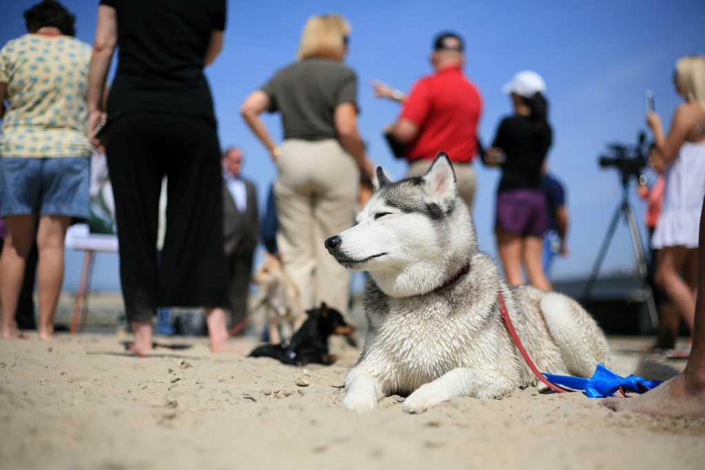 Nika, a husky, sits in the sand near the Santa Ana River mouth Saturday during a press conference from local officials about making the area an official dog beach. — Photo by Sara Hall ©