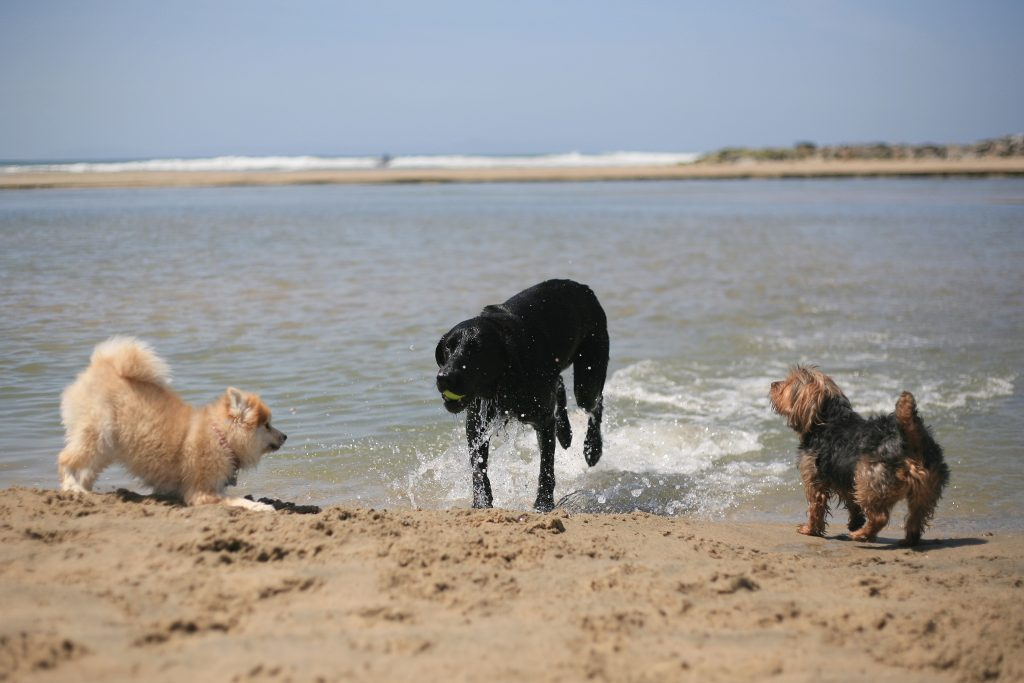 (left to right) Pomeranian Madison, black lab Haven, and Yorkshire terrier Phoenix run and play near the Santa Ana River mouth on Saturday after a press conference from local officials about making the area an official dog beach. — Photo by Sara Hall ©