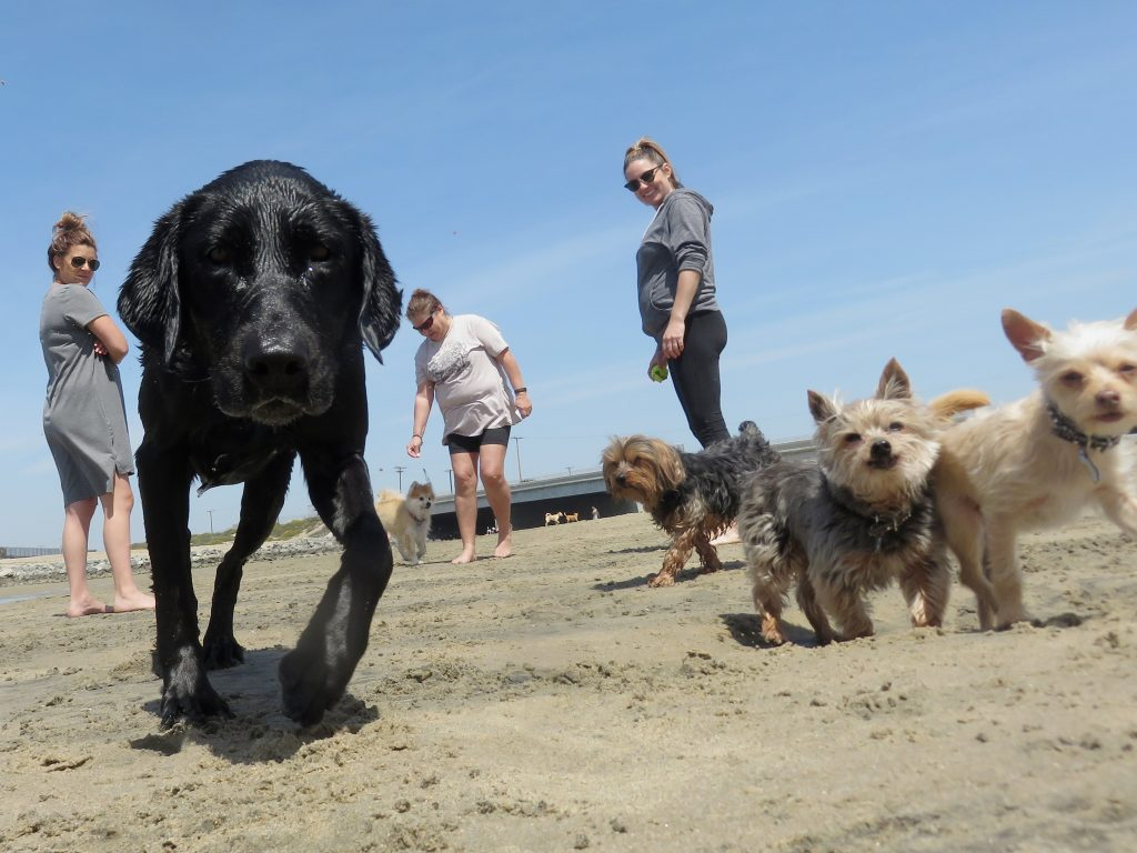 (left to right) Black lab Haven, Yorkshire terriers Phoenix and Dallas, and Chihuahua mix Gia run and play as their owners (l-r) Gillian Maleki, Grace Graham, and Trieste Culver watch near the Santa Ana River mouth on Saturday after a press conference from local officials about making the area an official dog beach. — Photo by Sara Hall ©