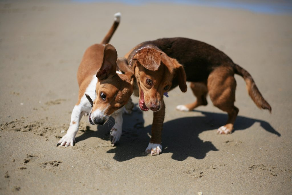 Dachshund-beagle mixes Cash (left) and Brownie play on the beach near the Santa Ana River mouth on Saturday after a press conference from local officials about making the area an official dog beach. — Photo by Sara Hall ©