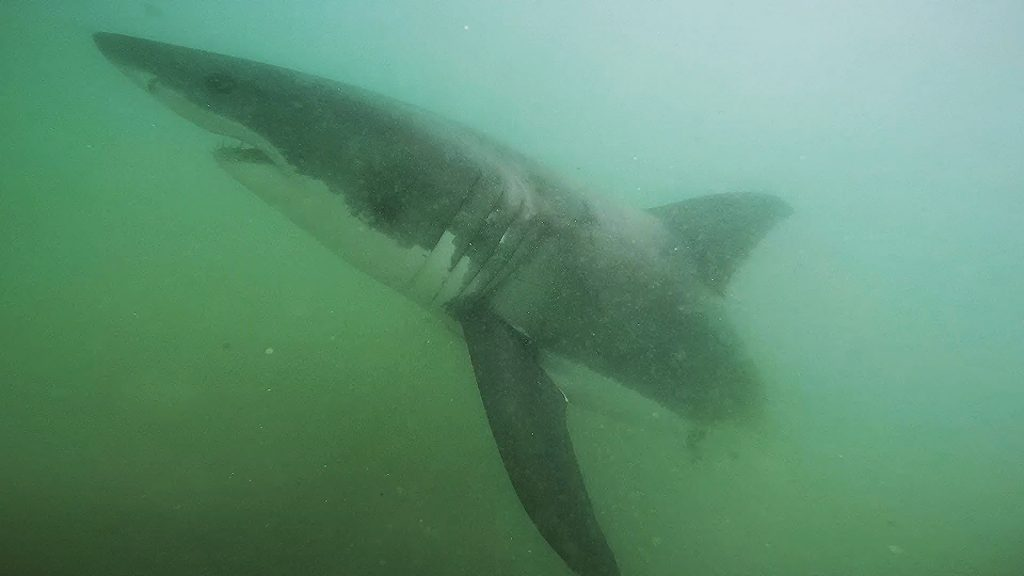A juvenile white shark swims off of Manhattan Beach in July 2015 in a screenshot captured using California State University, Long Beach, Shark Lab's Remote Underwater Video System. An older, larger shark of this same species may have been the type that bit a swimmer in Newport Beach on Sunday.  — Photo courtesy Cal State Long Beach Shark Lab ©