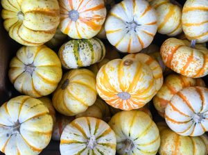 A group of Tiger Pumpkins are piled up for sale. These are miniature pumpkins that measure 6 to 8 inches and are good for both eating and decoration.