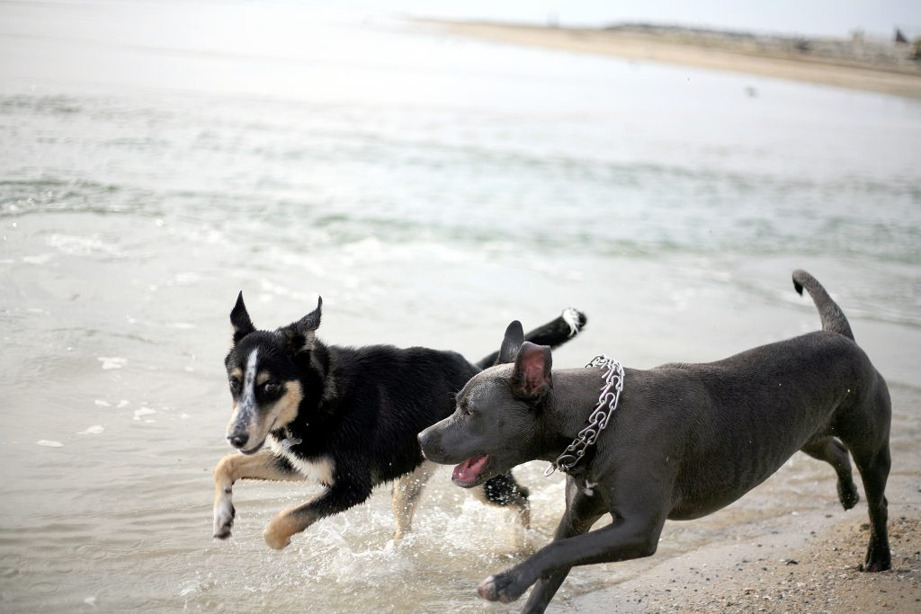 Indie (left), a 6-month-old golden retriever and husky mix from Huntington Beach runs along the beach with Stella, a 1-year-old rescued mixed breed pup from Newport Beach, near the Santa Ana River mouth on Thursday — Photo by Sara Hall ©
