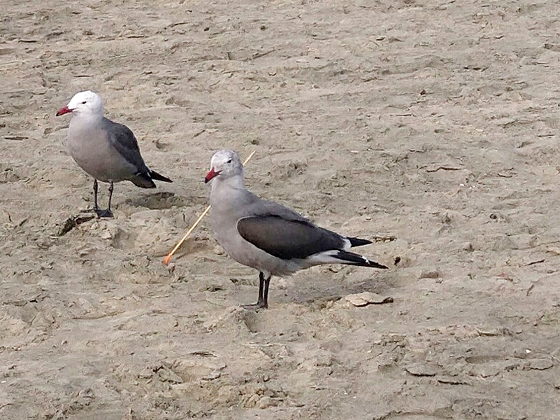 A gull injured by an arrow-like projectile, one of several cases the Newport Beach Police Department were investigating. — Photo courtesy of NBPD ©
