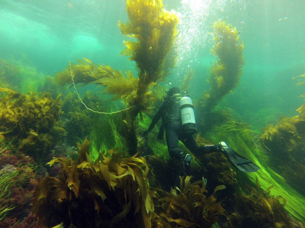 A diver studies the many kelp species of Channel Islands during the five-year protection period. — Photo by Sarah Finstad ©
