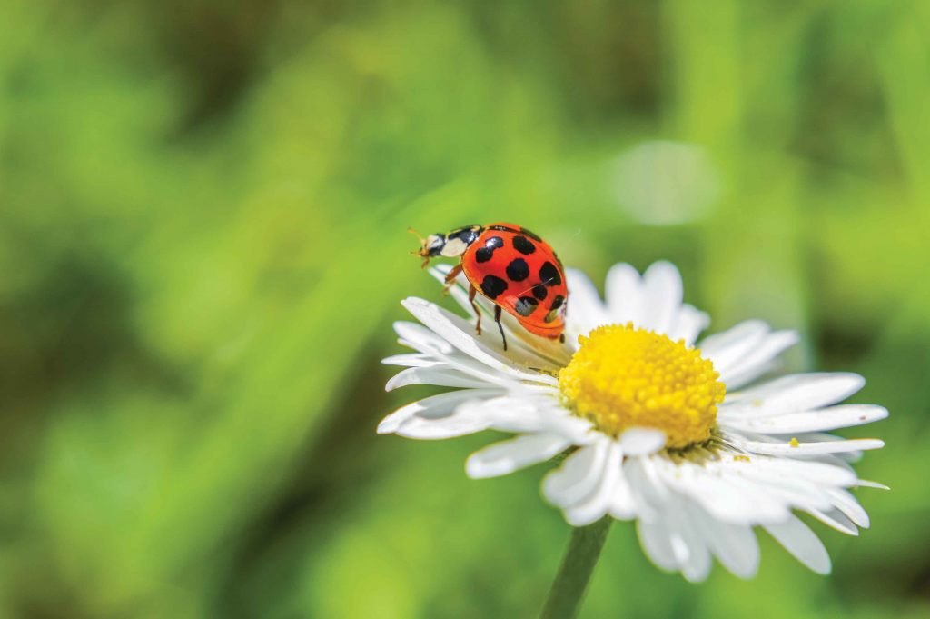 "Ladybugs can be ""good bugs"" -- Photo courtesy Armstrong Garden ©"